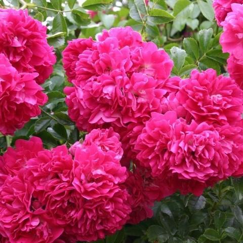 Роза плетистая Супер Эксцельза С3
