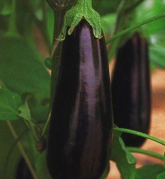 Баклажан Фарама F1 семена баклажана (Clause / Клос) Фарама_F1_семена_овощей_оптом.jpg