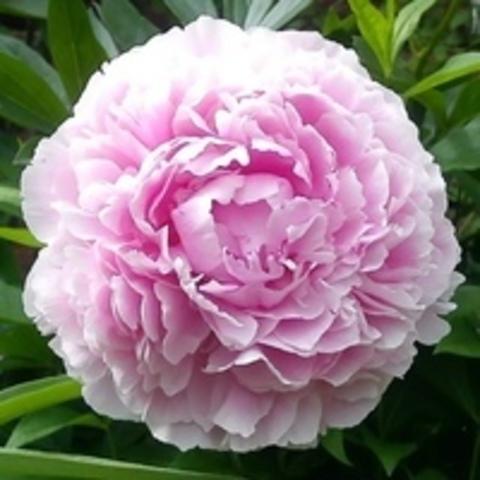 Пион молочноцветковый Сара Бернар С5