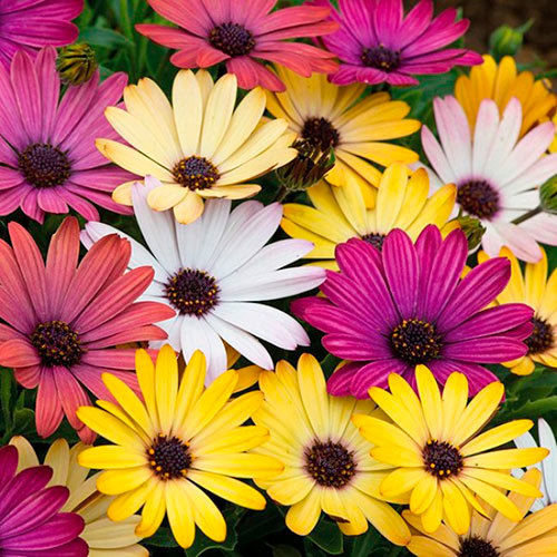Семена цветов Семена цветов Остеоспермум Акилла Гранд Каньон Микс, PanAmerican Seed, 5 шт. Остеоспермум-Акилла-Гранд-Каньон-Микс.jpg