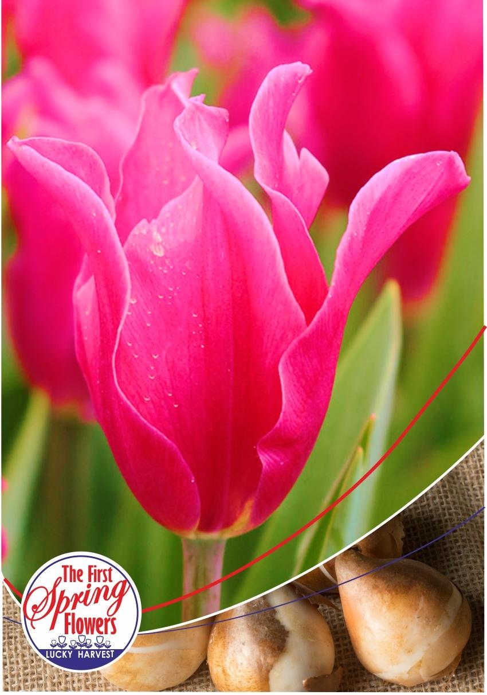 Луковицы Тюльпана Лилиевидного