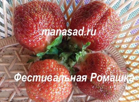 Земляника садовая Фестивальная Ромашка