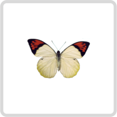 Hebomoia Glaucippe – Белянка