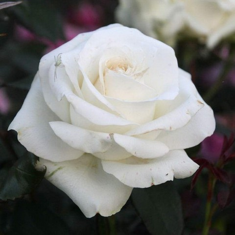 Роза чайно-гибридная Прауд С3