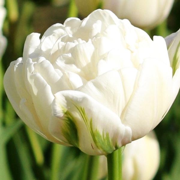 Тюльпан махровый ранний НордКэп