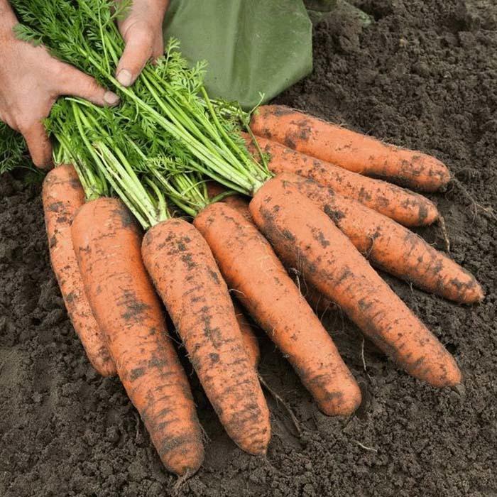 Берликум Базель F1 семена моркови берликум (Bejo / Бейо) базель_1.jpg