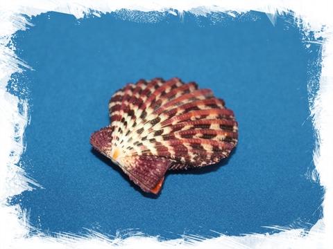 Ракушка морского гребешка Глорипаллиум паллиум (сдвоенная)