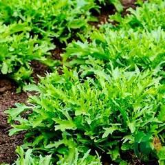 Семена руколы (индау) Синоп, Rijk Zwaan, 0,5 гр.