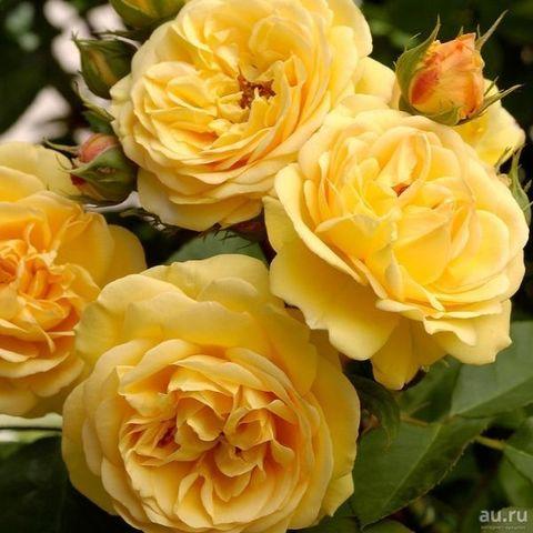 Роза английская душистая Чарльз Дарвин С6