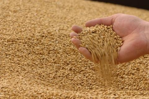 Пшеница кг