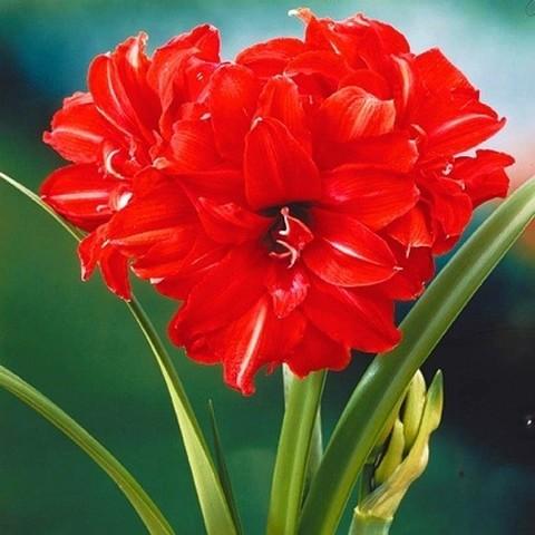 Амариллис махровый Ред Пикок