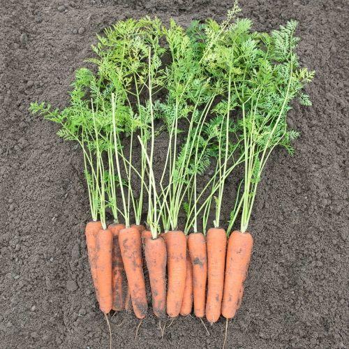 Нантская Нирим F1 семена моркови нантской (Bejo / Бейо) НИРИМ_F1_семена_овощей_оптом.jpg