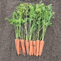 Нирим F1 семена моркови нантской (Bejo / Бейо)
