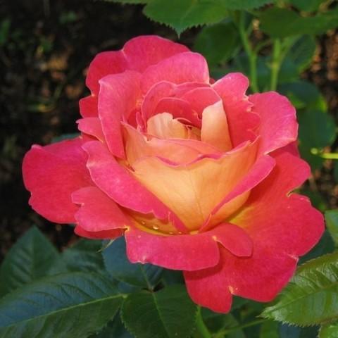 Роза плетистая Арлекин Декор С3