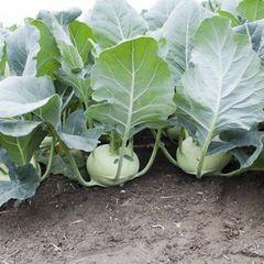 Едер рз F1 семена капусты кольраби (Rijk Zwaan / Райк Цваан)