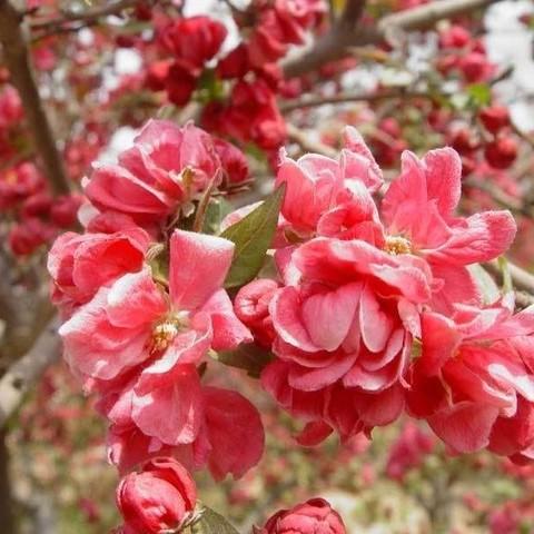 Яблоня декоративная Келси С12 180-200