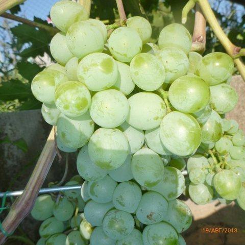 Виноград плодовый Талисман