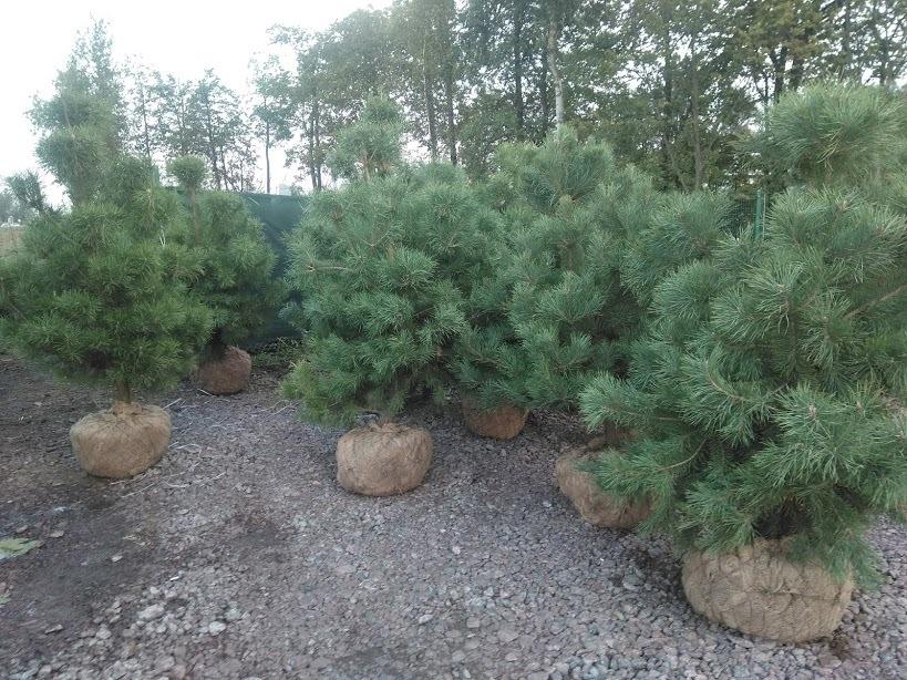 Сосна обыкновенная полтора метра для живой изгороди