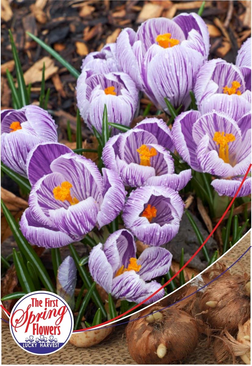 Луковицы Крокуса крупноцветкового 'Pickwick' (Пиквик) TM Jan de Wit en Zonen B.V. ( количество в упаковке 5 луковиц)