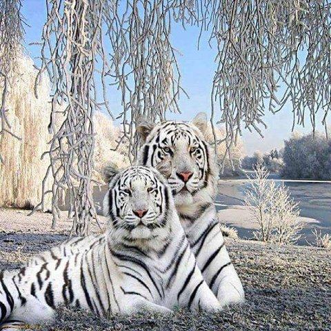 Алмазная Мозаика 30x40 Белый тигр с тигрицей (Арт. HZM1012)