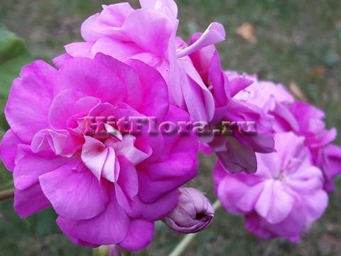 Пеларгония Ю Дикая роза