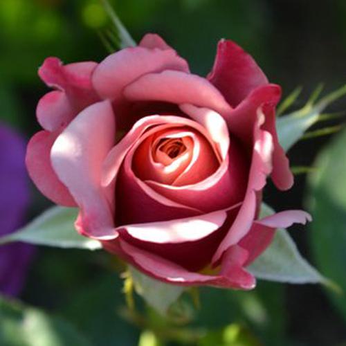 Роза чайно-гибридная Глубокая вода