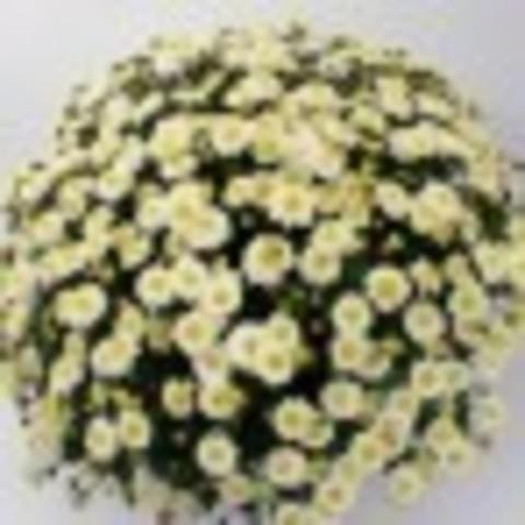 Хризантема мультифлора  Branarktis White N 2059
