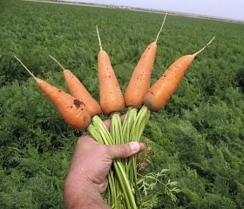 Sakata Ред Кор семена моркови курода/шантане (Sakata / Саката) Ред_Кор__2__семена_овощей_оптом.JPG