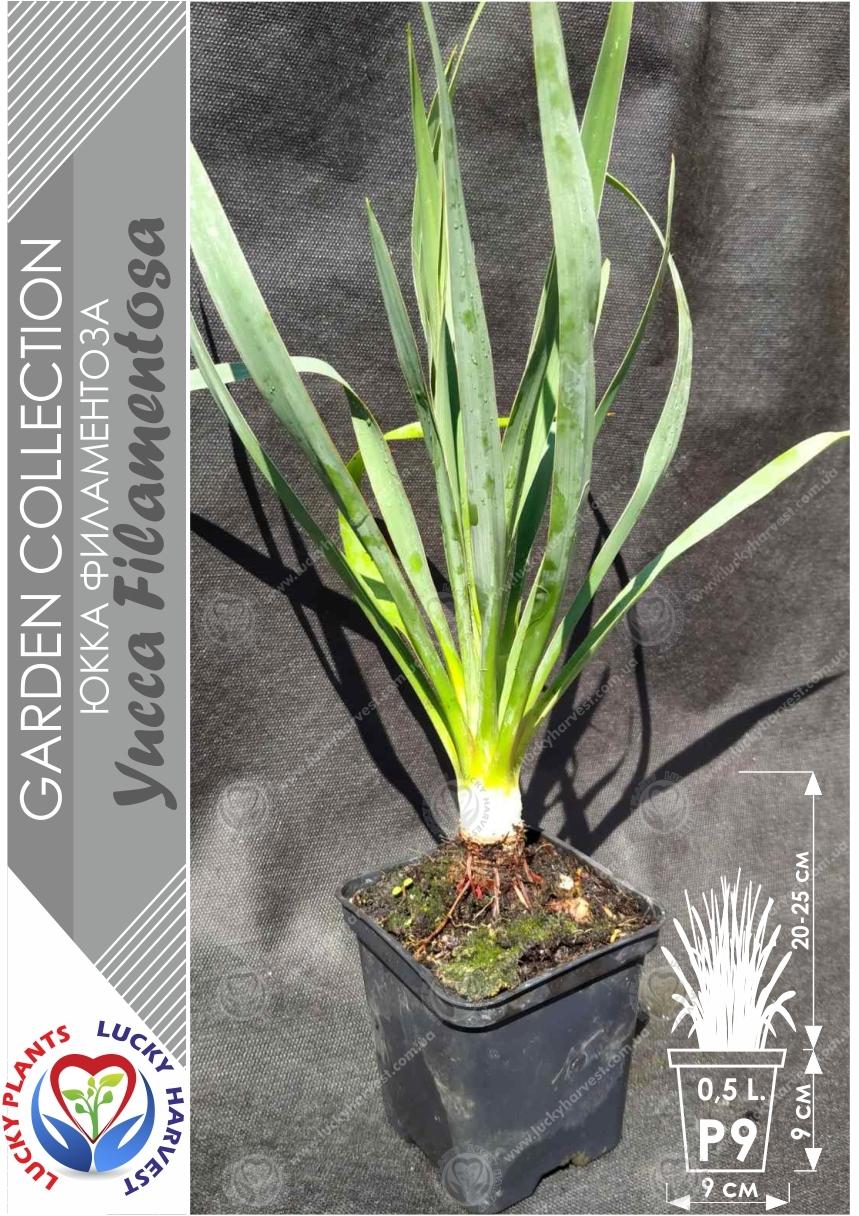 Юкка  нитчатая фламентоза  ( Yucca filamentosa)  ТМ LUCKY HARVEST