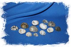 Ракушки морские Нерита скабрикоста, Nerita scabricosta