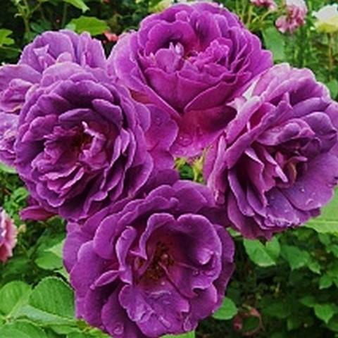 Роза флорибунда Минерва С6