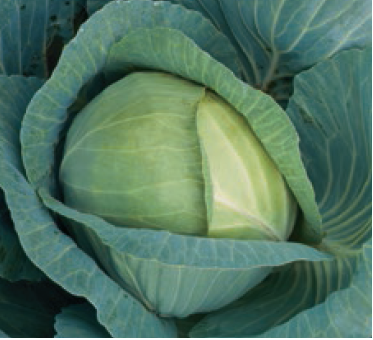 Белокочанная Триперио F1 семена капусты белокочанной (Syngenta / Сингента) триперио.PNG