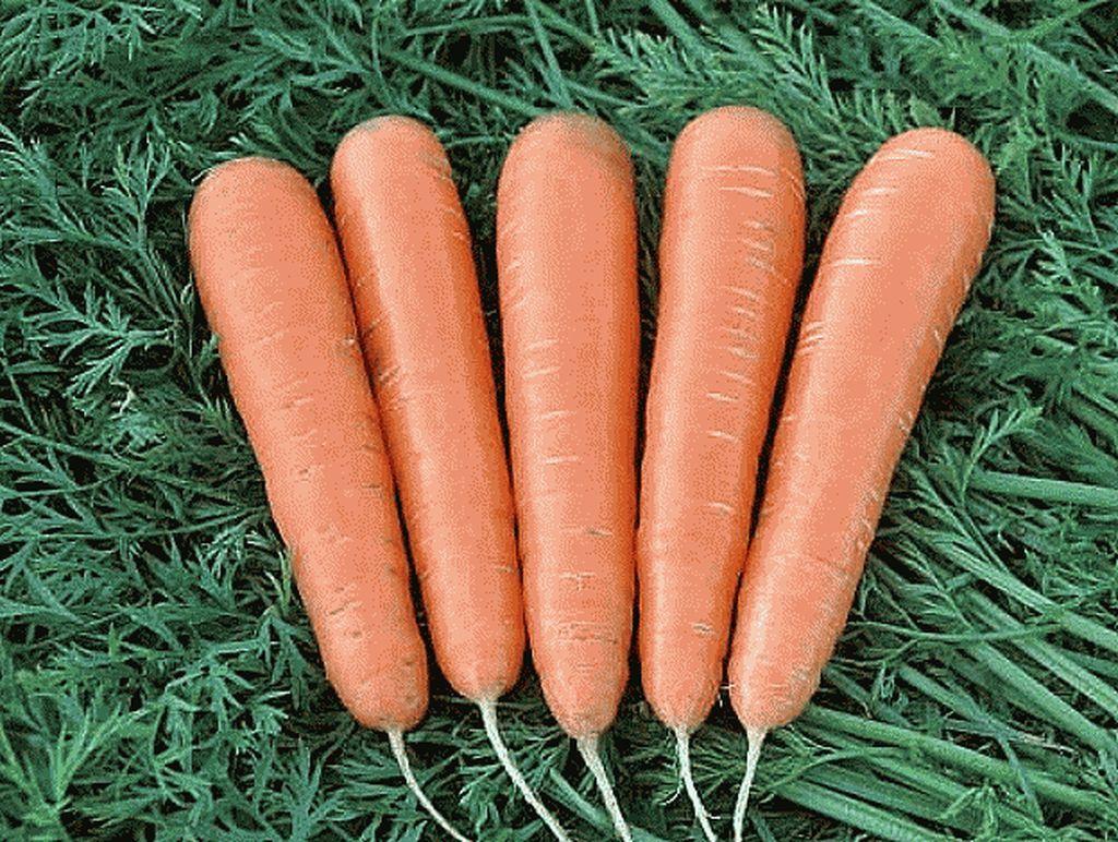 Нантская Маэстро F1 семена моркови нантской (Vilmorin / Вильморин) Маэстро_F1_семена_овощей_оптом_Sakata_Enza_Zaden_Seminis_Rijk_Zwaan_Nunhems_Vilmorin_Clause_Bejo.jpg