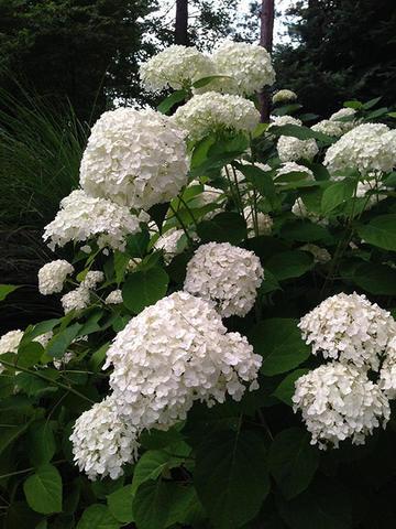 Гортензия крупнолистовая  (цветёт всё лето) Ориджинал