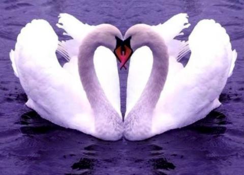 Алмазная Мозаика 40x50 Пара влюбленных лебедей (арт. S011)