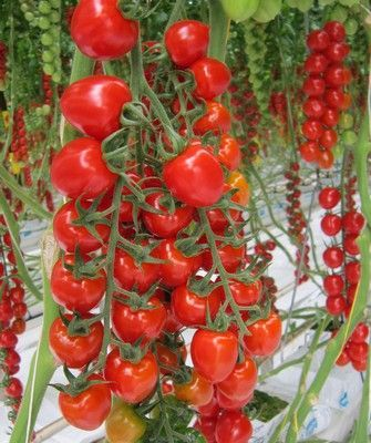 Томат Дашер F1 семена томата индетерминантного (De Ruiter Seeds / Де Ройтер Сидс) Дашер_F1__Dasher_F1__семена_овощей_оптом.JPG