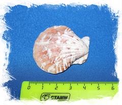 Пектен Вексиллум крупное фото с размером