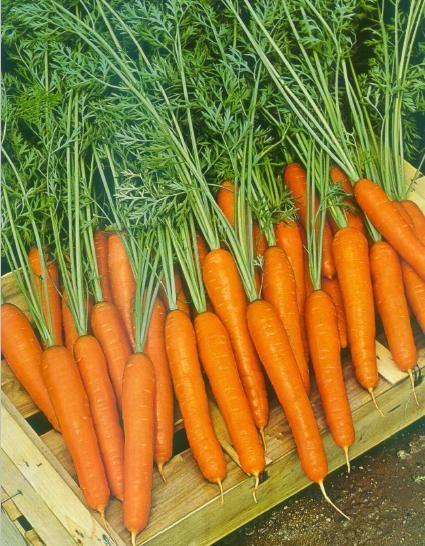 Нантская Саманта F1 семена моркови нантской (Sakata / Саката) САМАНТА_F1_семена_овощей_оптом.jpg