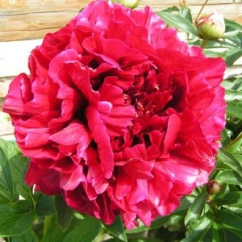 Пион молочноцветковый Ред Сара Бернар С5