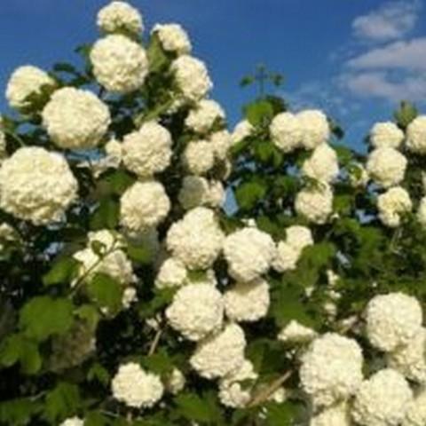 Калина обыкновенная Розеум (Бульденеж) С15 100-120