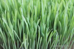 Проращиватель Eschenfelder XL для ростков пшеницы (Витграсс)