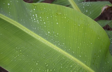 Лист Банана, 500 г
