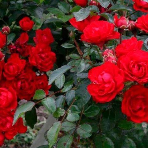 Роза почвопокровная Ред Фейри С6