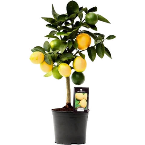 Цитрофортунелла Лимон штамб D15 H40