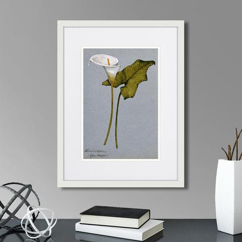Клифтон Хардинг - Arum lily, 1899г.