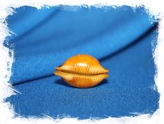 Пустулария бистринотата (Pustularia bistrinotata)