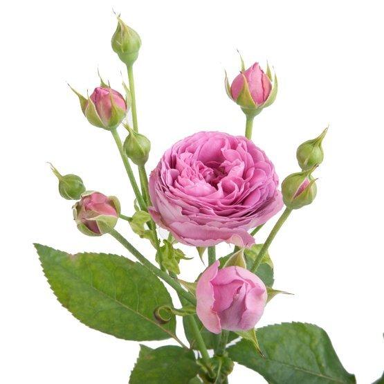 Букет 15 пионовидных кустовых роз Misty Bubbles