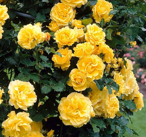 Роза плетистая Голден Парфюм (в тубе)