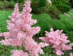 Астильба японская Пич Блоссом (Peach Blossom)