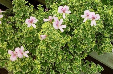 Пеларгония p. Crispum Variegatum